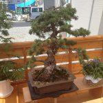 立派な盆栽が飾られる事になりました。